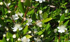 Мирт - декоративное домашнее растение с целебными свойствами