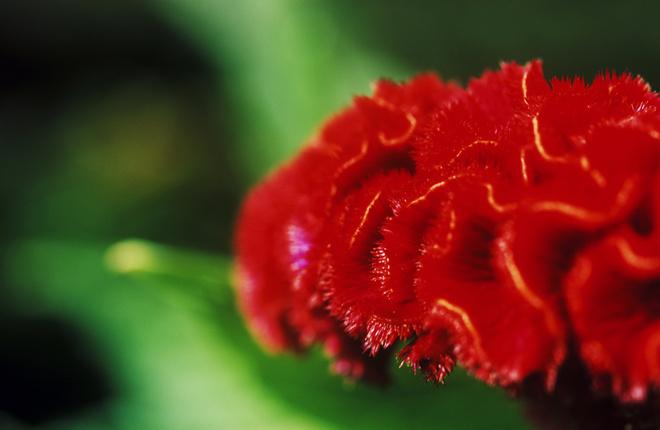 Целозия гребенчатая цветет с июля до октября