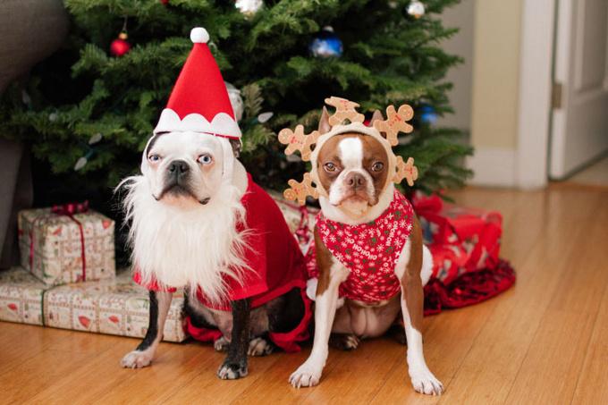 Собаки в наряде Деда мороза