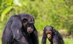 Немецкие ученые узнали тайны семейной жизни шимпанзе