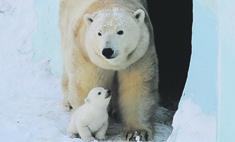 Новосибирцы придумали 1406 имен для дочки белых медведей (видео)