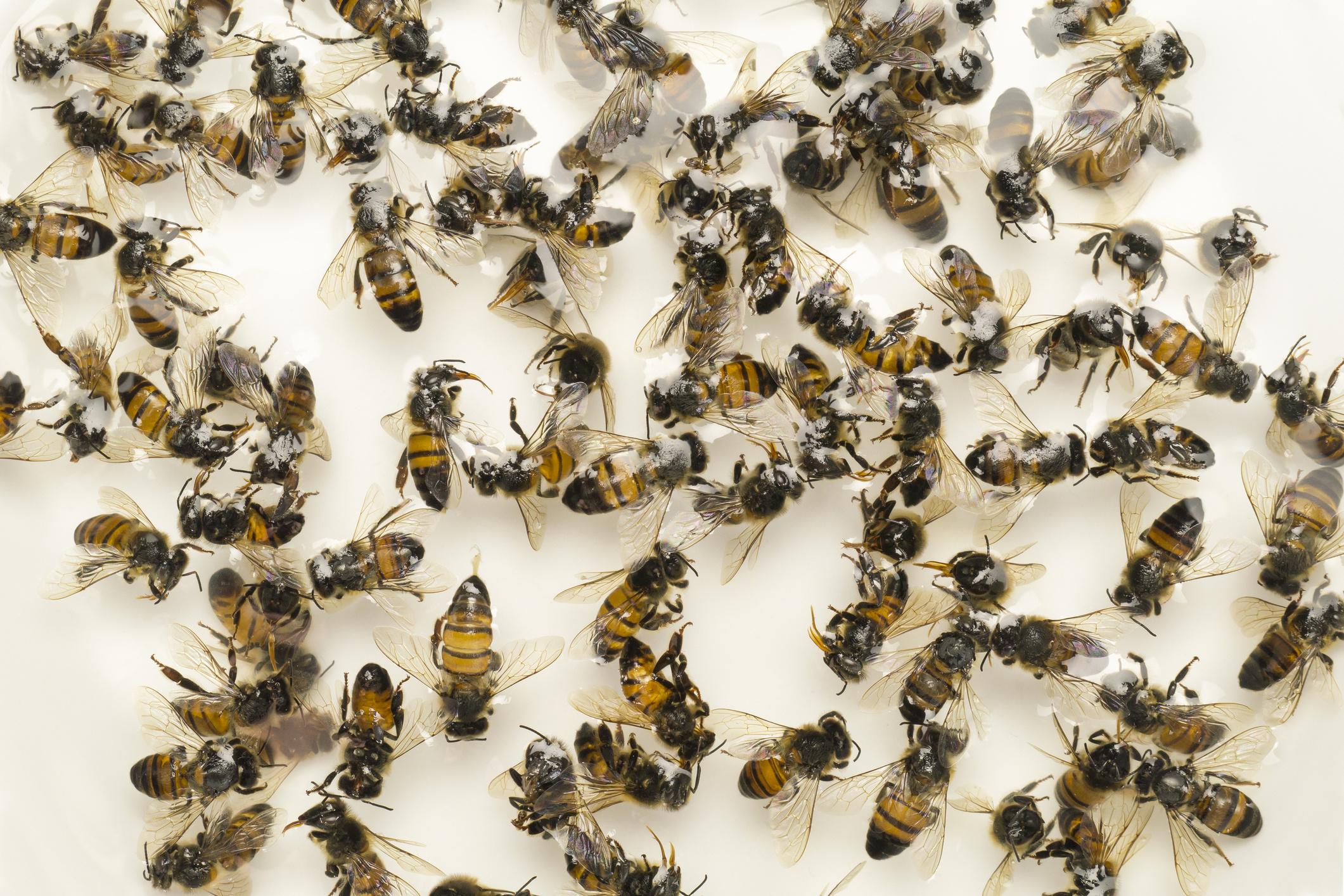 Как сделать настойку из пчелиного подмора
