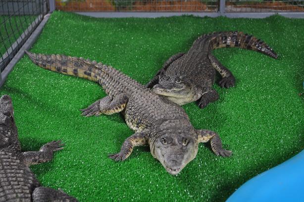 «Крокодиловая ферма» открылась в Петербурге