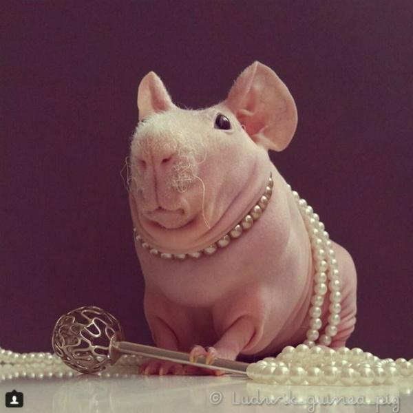 Милота дня: лысая гвинейская морская свинка