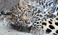 Первые фото ростовских леопардов: умиляемся!