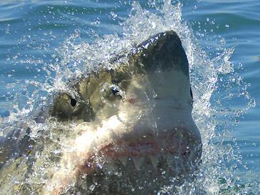 Акула напала на россиянку в 100 метрах от берега