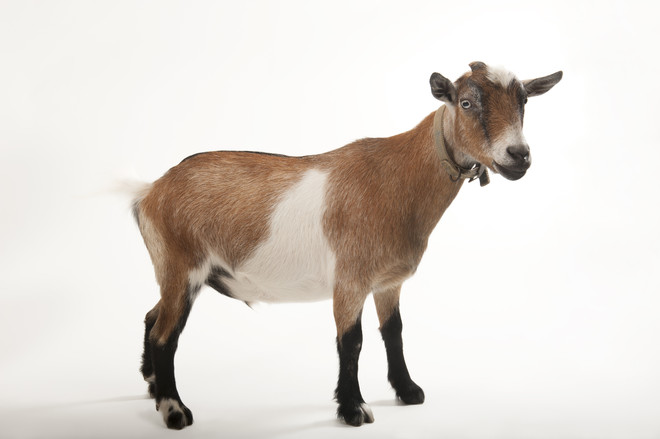 к чему снится козел