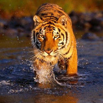Иногда бенгальские тигры нападают на людей, потому что очень голодны и не могут найти нормальную добычу.