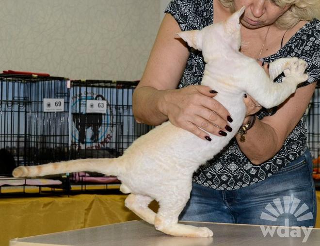 порода кошек котенок девон рекс