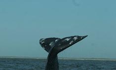 На пляже в Уэльсе нашли мертвого кита