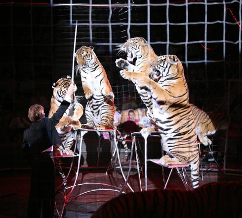 Королевские тигры Суматры