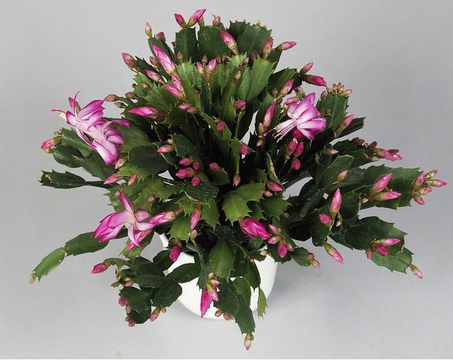 Цветок шлюмбергера уход в домашних условиях
