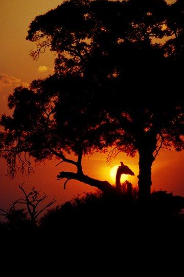 Жираф на солнце/Зимбабве«Жираф – романтическое и нежное существо. Несуразный пример игры природы, из которой исключил себя цивилизованный человек своим прагматизмом, ненасытной жадностью и жестокостью. Как они уцелели, как уцелели слоны и снеж