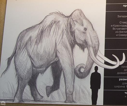 Трогонтериевый слон в Пермском музее древностей