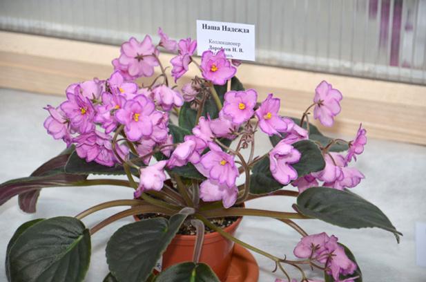 Фиалки на выставке цветов в Калуге