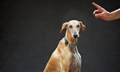 Описание породы собак хортая