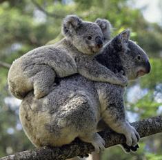 До слез: мама-коала спасла детеныша, пожертвовав собой