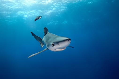 акулье масло для суставов