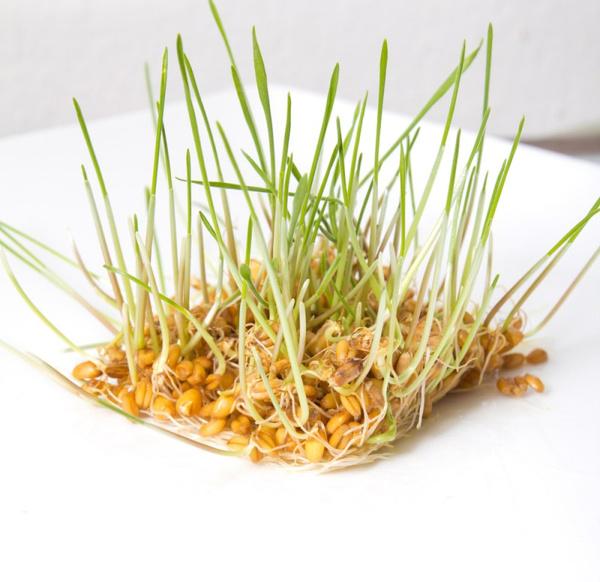 Пророщенная пшеница: рецепты. Видео