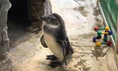 В «Роевом ручье» пингвинам построили новый бассейн