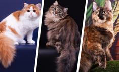 Без кота – и жизнь не та! Самые модные породы в Волгограде