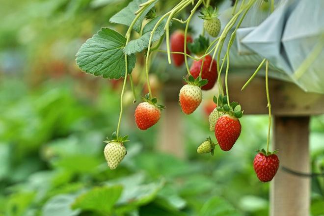 витамины содержащиеся в землянике