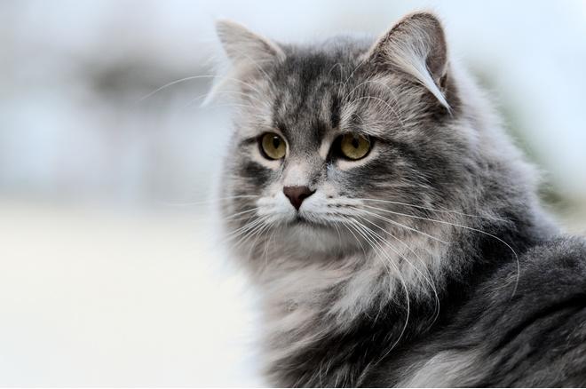 сибирская кошка описание породы