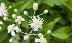 Как выращивать клематис жгучий - неприхотливое украшение сада