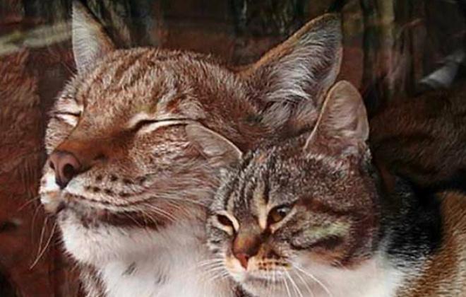 Рысь Линда, кошка Дуся
