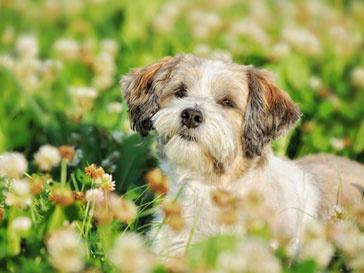 Собака по кличке Трабл имела при жизни $12-миллионное состояние