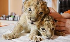 Царь и царица! В иркутской зоогалерее родились львята