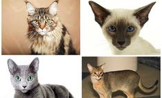 Кошка какой породы подойдет именно вам?
