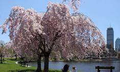 Япония приглашает туристов на цветение сакуры