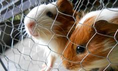 Содержание морских свинок в домашних условиях, уход за ними