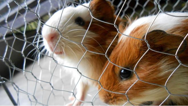 Условия содержания морских свинок в домашних условиях