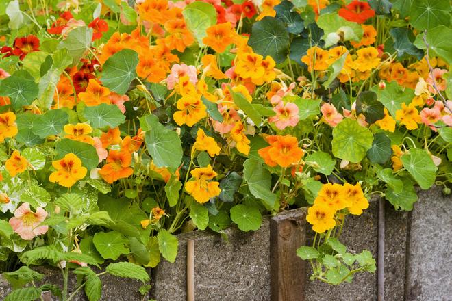 как собирать семена настурции