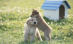 Выбираем малыша: щенки золотистого ретривера