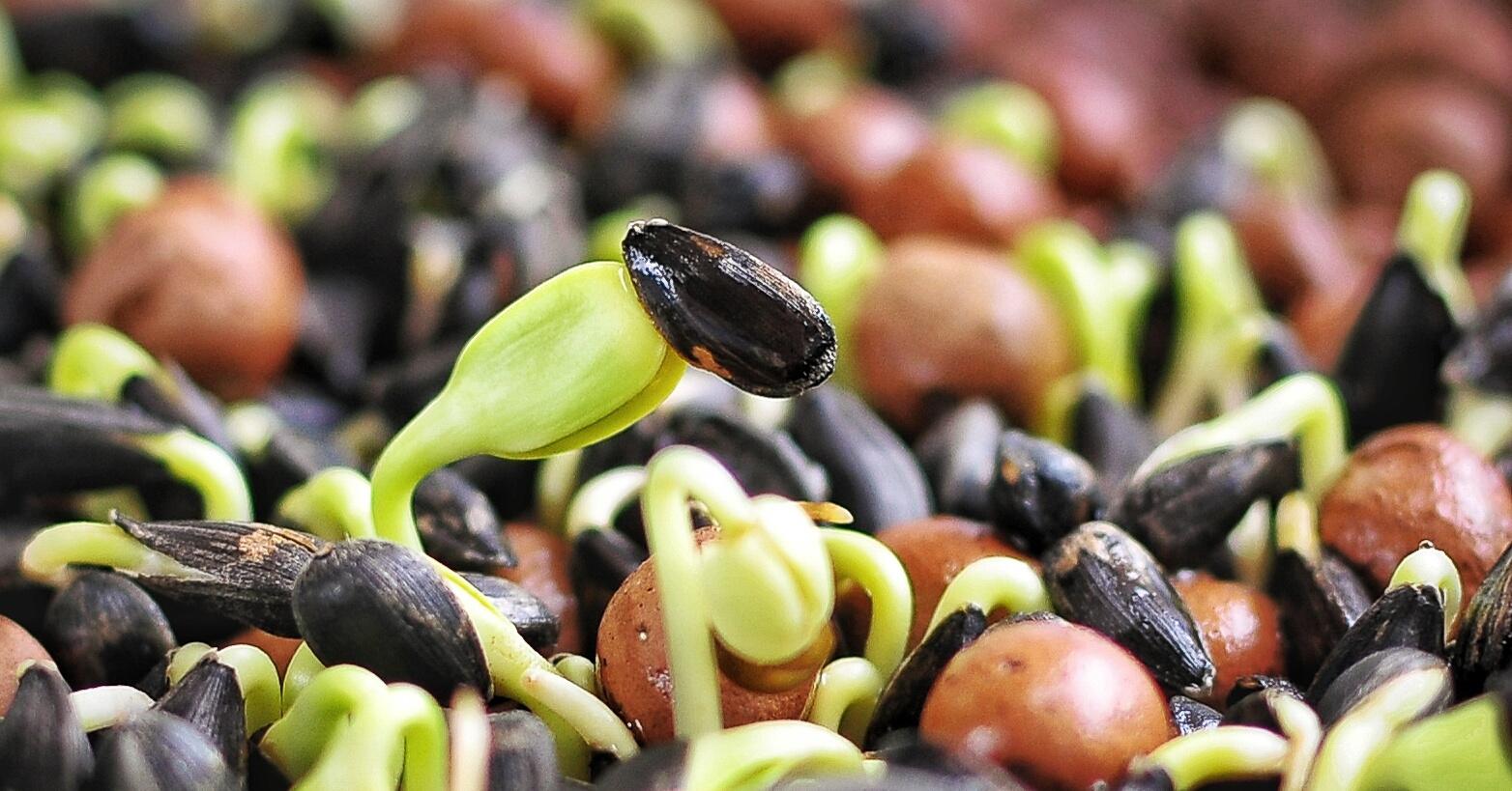 Проращивание семян подсолнечника в домашних условиях