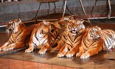 Стынет кровь: в цирке стартовала новая программа «Королевские тигры Суматры»