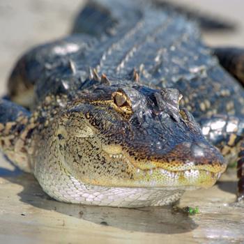 Обычно аллигаторы боятся людей и в отличие от крокодилов не рассматривают человека в качестве жертвы.