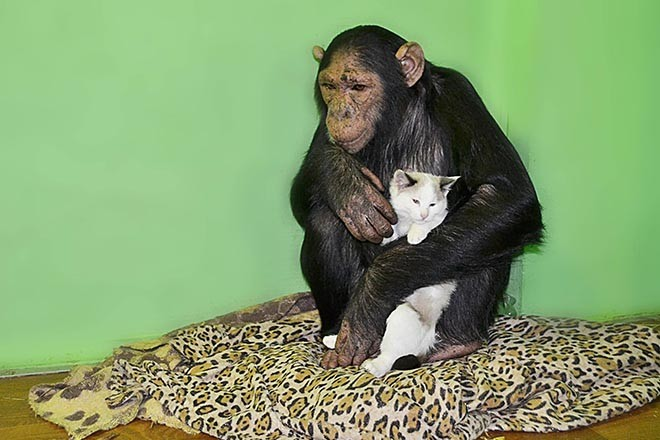 шимпанзе взяла на воспитание бездомного котенка