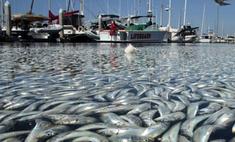 Миллионы дохлых рыб всплыли в районе Лос-Анджелеса