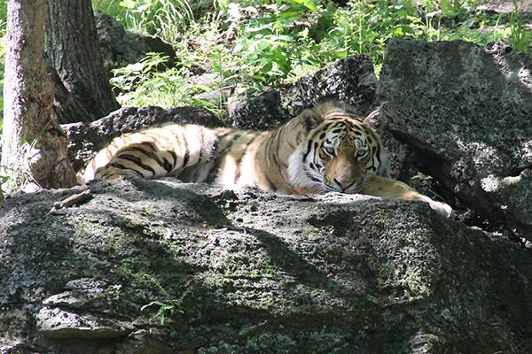 Тигр - хозяин Приморья!