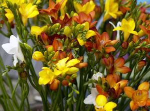 Цветок фрезии в домашних условиях 112