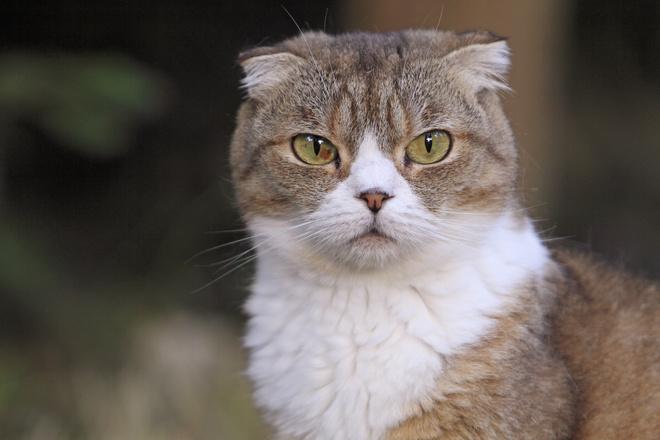 У кошки породы шотландская вислоухая уши опущены вниз