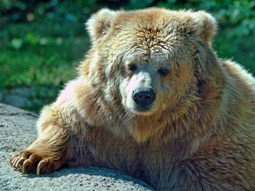Медведь-предсказатель