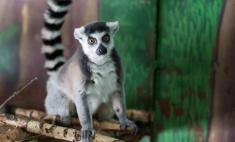 В гости к символам года: как живут обезьяны в Пермском зоопарке