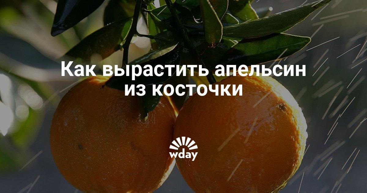 Как вырастить апельсины в домашних условиях из косточки 402