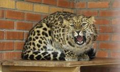 В Красноярск привезли пару редких дальневосточных леопардов