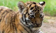 Тигренка чудом спасли от смерти в чемодане